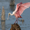 This photo of the Roseate Spoonbill was enhanced based on everybody's inputs that were received over the last several days.