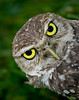 • Burrowing Owl