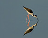 • Black-necked Stilt