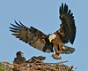 • Bald Eagle